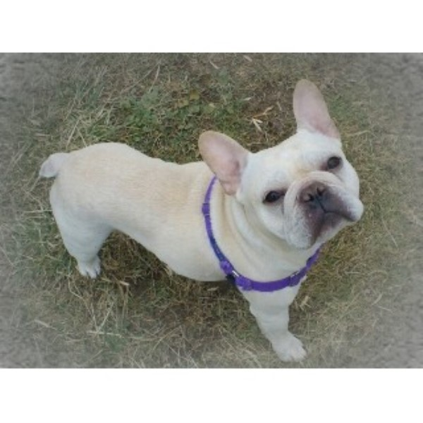 french bulldog rescue kentucky frenchables french bulldog breeder in western kentucky 7572