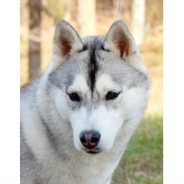 Siberian Husky breeder Unlisted 22551