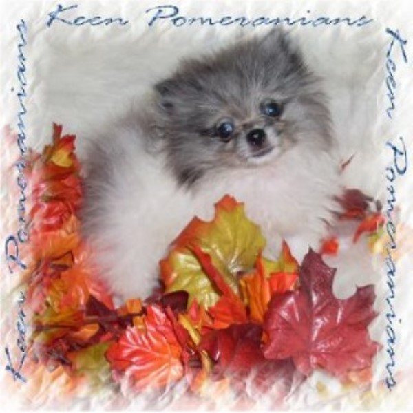 Keen Pomeranians Pomeranian Breeder In Huntsville Alabama