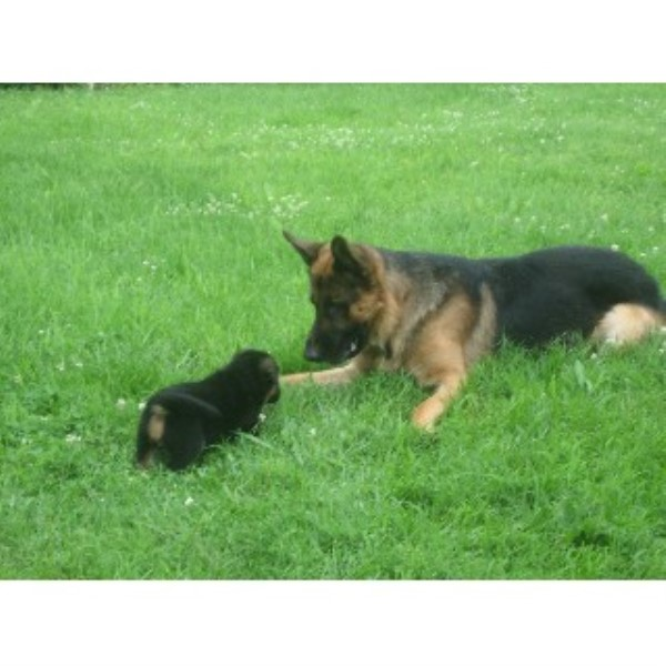 Karen German Shepherd Dog Stud In Janesville Wisconsin