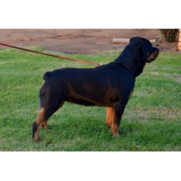 creelkennel, Rottweiler Breeder in Riverside, California