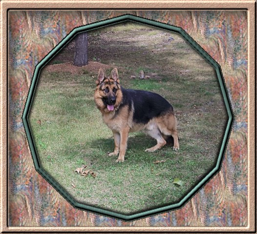 Vonwittes German Shepherds