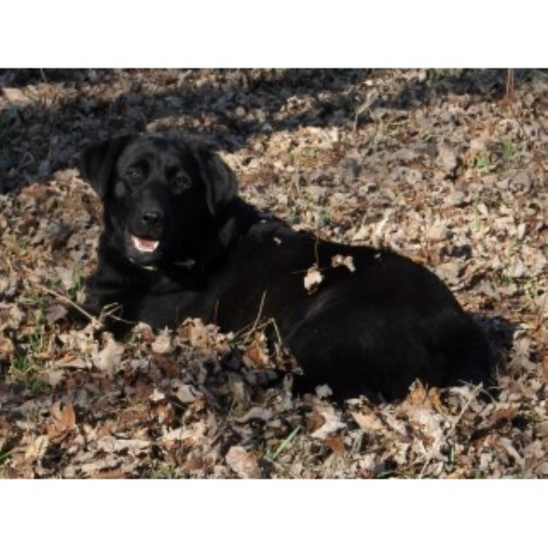 Labrador Retriever Breeder 25239