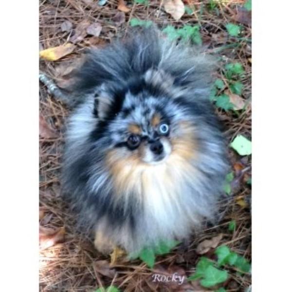 Yielding's Impressive Precious Pups, Pomeranian Breeder in