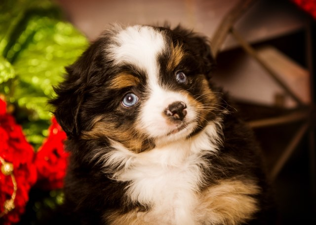 Magical Toy Aussies Miniature Australian Shepherd Breeder In Byron New York