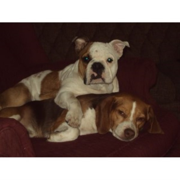 Woodall Bulldogs English Bulldog Breeder In Four Oaks North Carolina