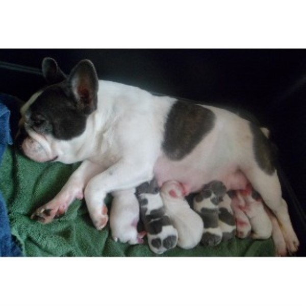 french bulldog tennessee bestfrenchbulldogpuppies french bulldog breeder in 9140