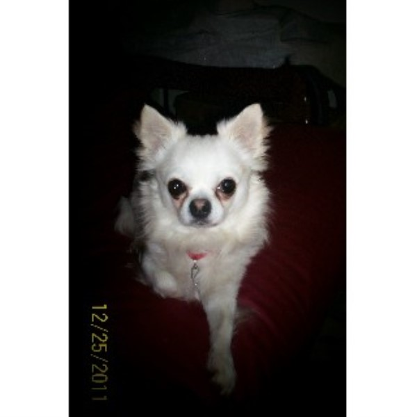 Chihuahua stud in New York