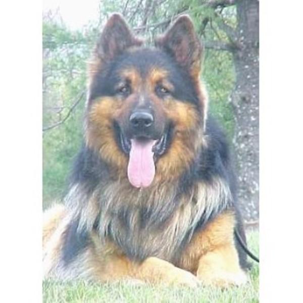 Ayers Long Coat German Shepherds German Shepherd Dog Breeder In Lerona West Virginia