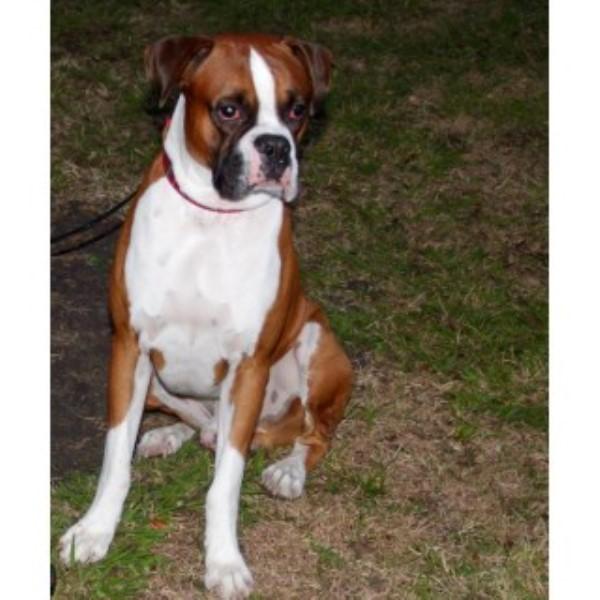 Boxer Breeders Houston