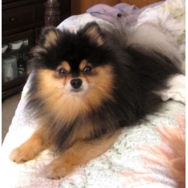Pomeranian breeder in Birmingham, Alabama