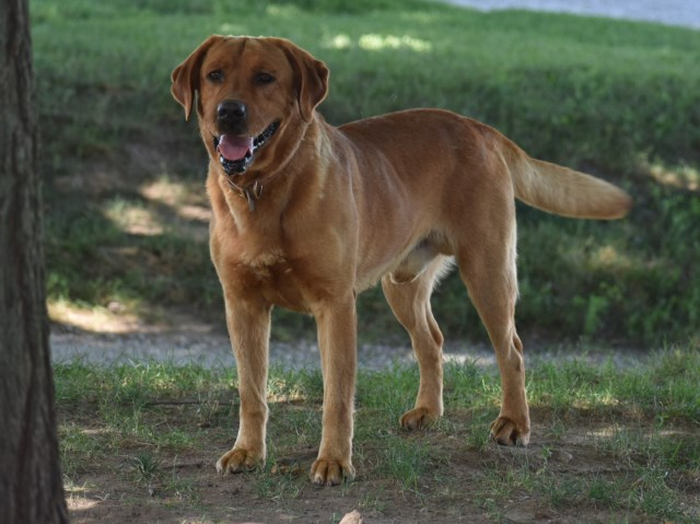Conquest Labradors, Labrador Retriever Breeder in Goshen, Indiana