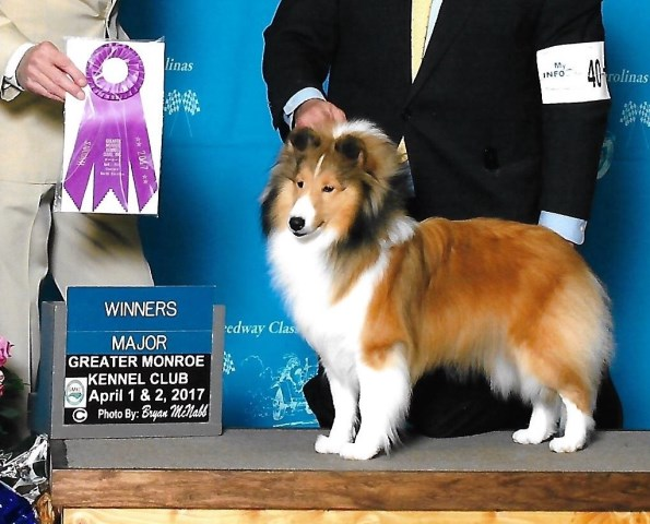 Laurendel Shelties Shetland Sheepdog Breeder In