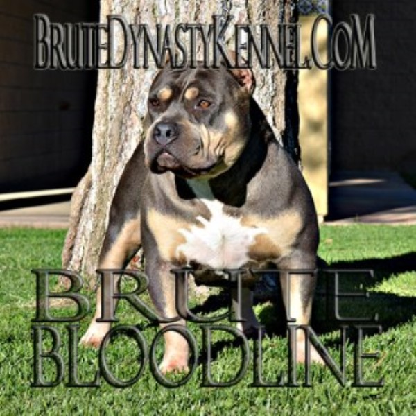 Brute dynasty kennel american pit bull terrier breeder in for Dog kennels los angeles