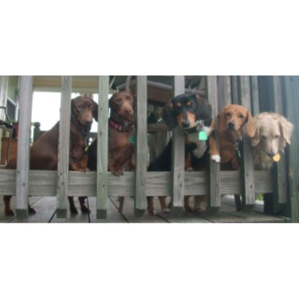 J And S Precious Pups Dachshund Breeder In Stockdale Texas