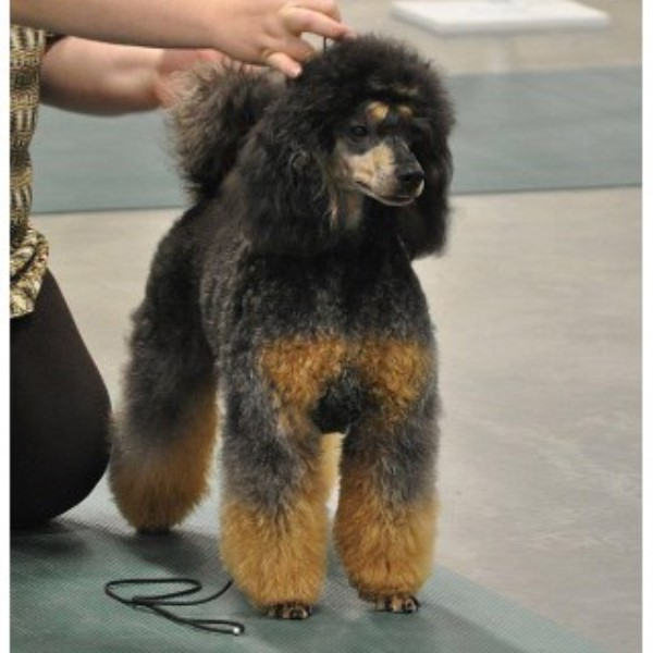 Poodle Miniature breeder North Wilkesboro 24843