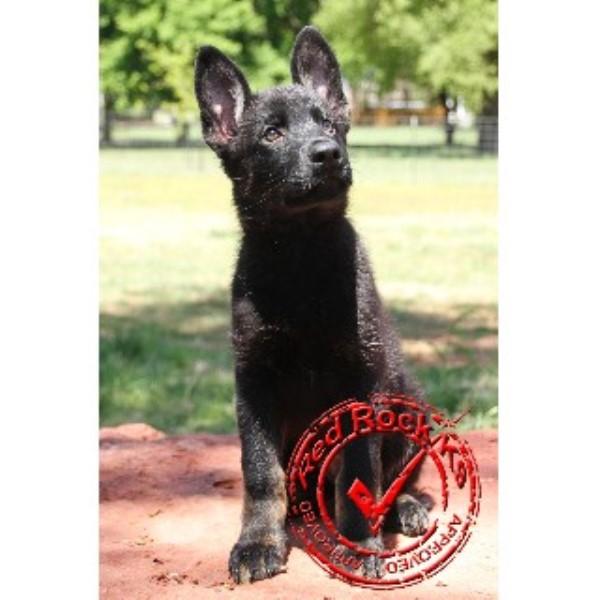 Red Rock K9 German Shepherd Dog Breeder In Edmond Oklahoma