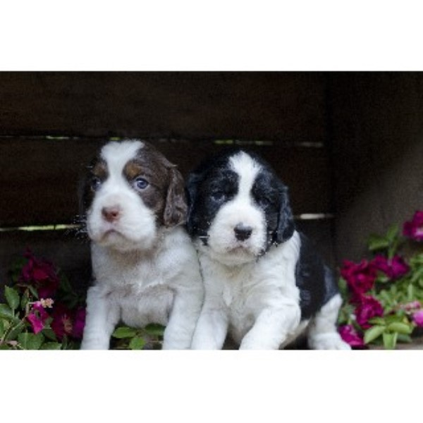 Small Dog Breeders Pittsburgh