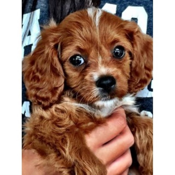 Cpuppies com, Cavalier King Charles Spaniel Breeder in New