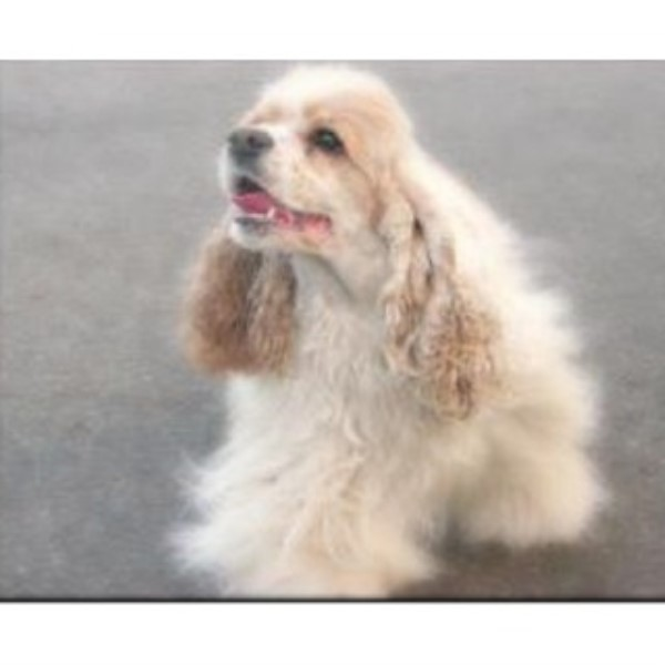 American Cocker Spaniel breeder Crystal Lake 15172