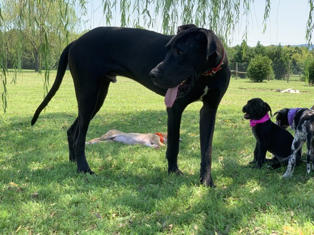 Parrish Patch Farms Great Dane Breeder In Alexandria Tennessee