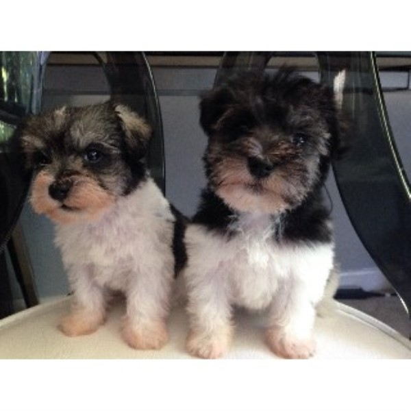 Blooming Schnauzers Miniature Schnauzer Breeder In Woodbridge Virginia