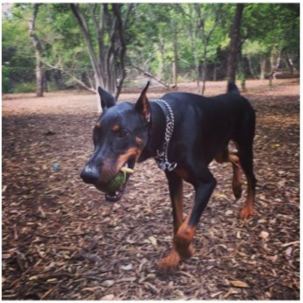 Doberman Pinscher breeder San Antonio 25180