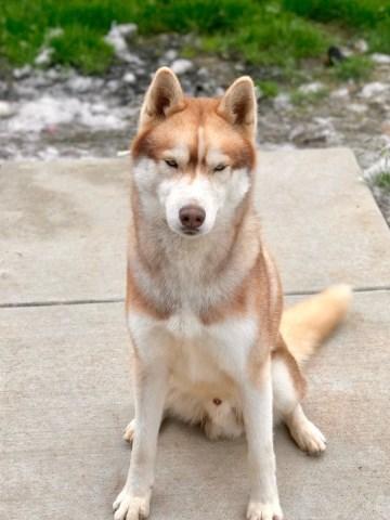 Anidary Siberians Siberian Husky Breeder In Tacoma