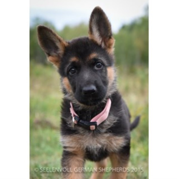 Seelenvoll German Shepherds German Shepherd Dog Breeder In