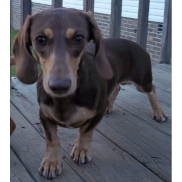 Four Rivers Dachshunds Dachshund Breeder In Kevil Kentucky
