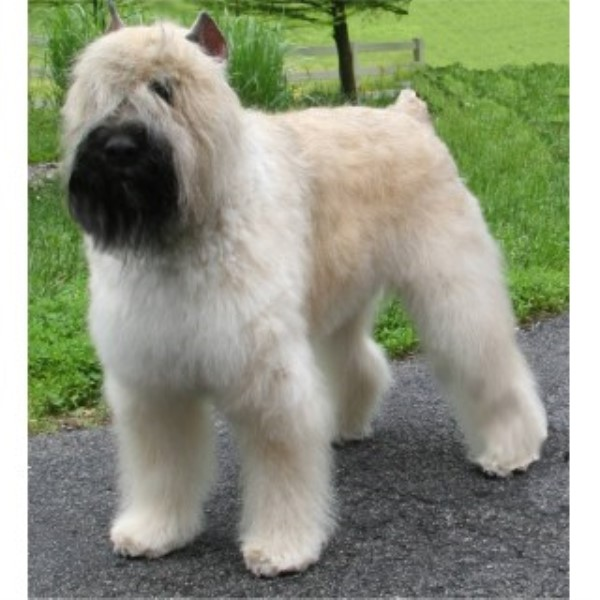 breeders and only Bouvier Bouvier Des Flandres Rescue Ohio