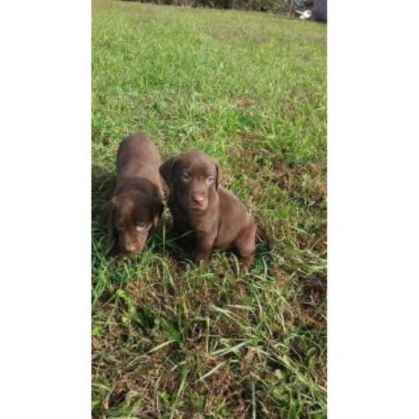 Labrador Retriever breeder Pierceton 21152