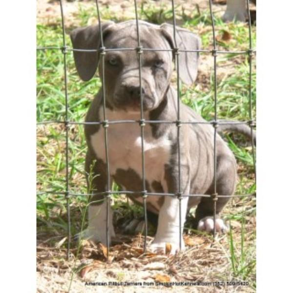 Pitbull Dog Puppies Smokin