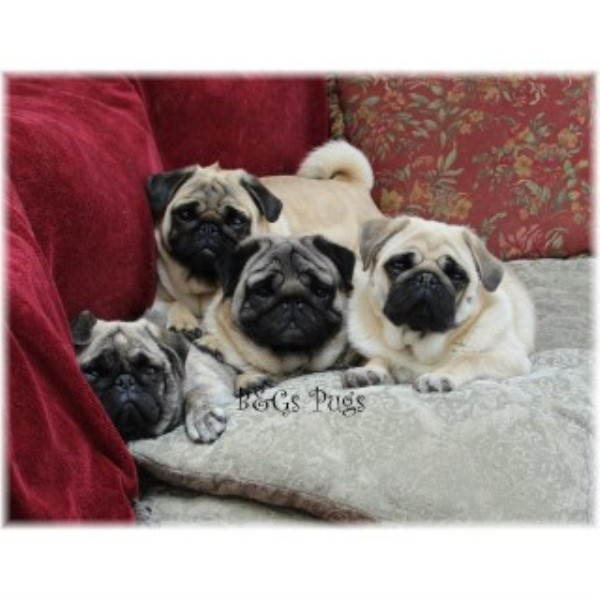 pug breeders in wisconsin b g s pugs pug breeder in kewaunee wisconsin 9425