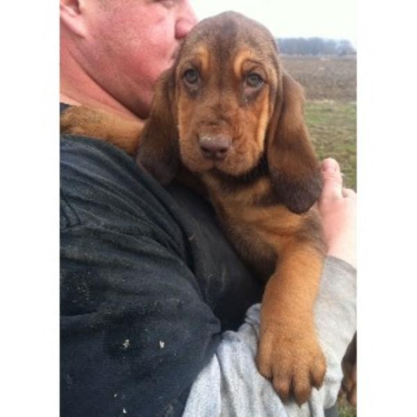 Wrinklypaws Bloodhound Breeder In Findlay Ohio
