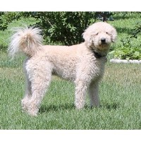 Search Locally For Labradoodle Breeders Nearest You Freedoglistings Page 3