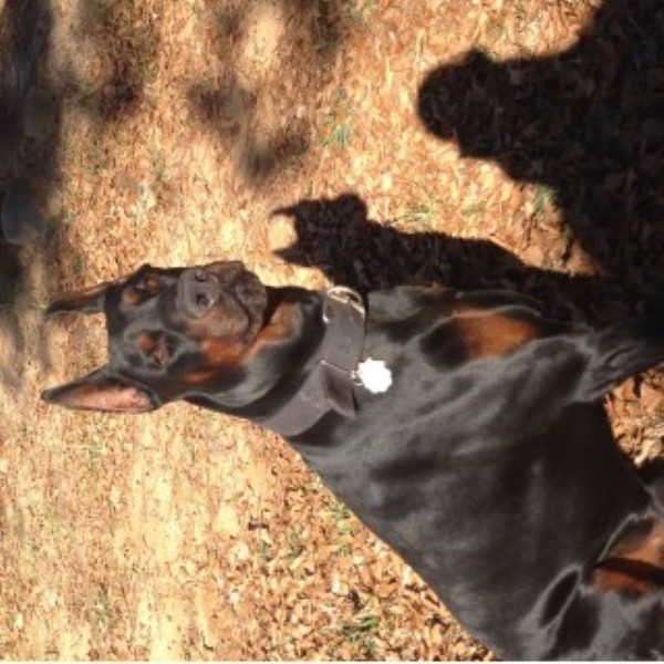 Doberman Pinscher breeder Chester 22537