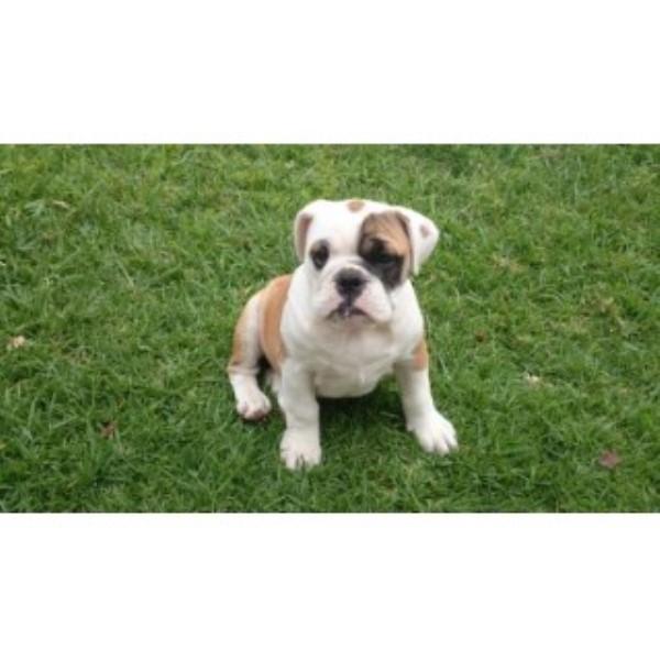 Sandov's English Bulldog, English Bulldog Breeder in Riverside