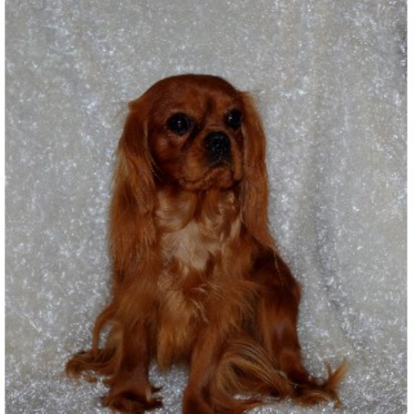 263319909437121857 further Dog Breeders Details as well Shop likewise Cavapoo Breeders moreover Details. on cavalier king charles spaniel rescue virginia