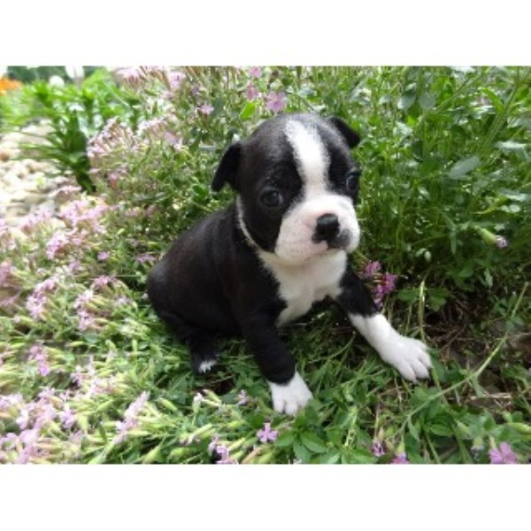 boston terrier breeders wi jenny s boston babies precious pugs beautiful bugg s 3880