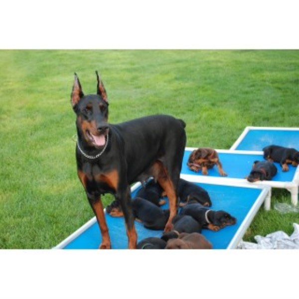 Doberman Pinscher breeder Berlin Center 23772