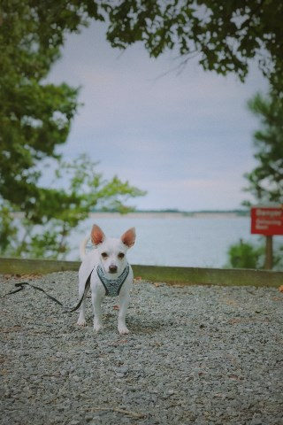Delores Lentz Chihuahua Stud In North Chesterfield Virginia