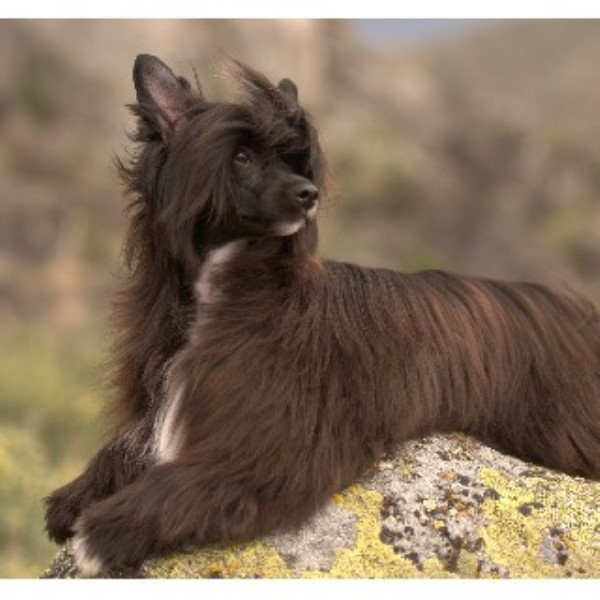 Legacy Powderpuffs at BouldercCrest, Chinese Crested ...