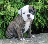 English Bulldog puppies for sale!