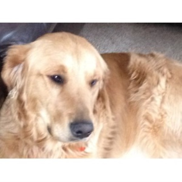 Golden Retriever breeder Memphis 23593