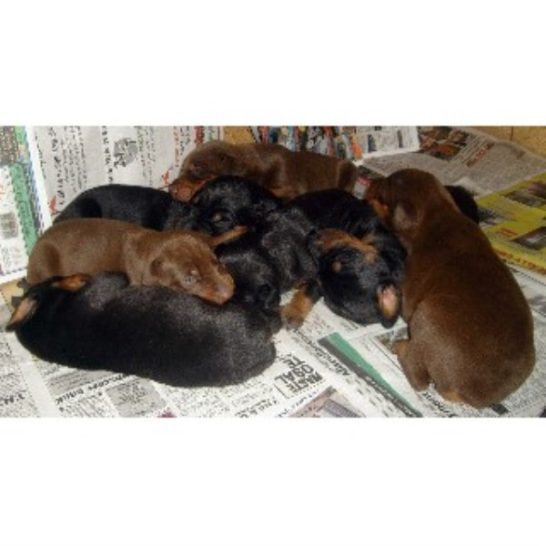 Doberman Pinscher breeder Lind 21747