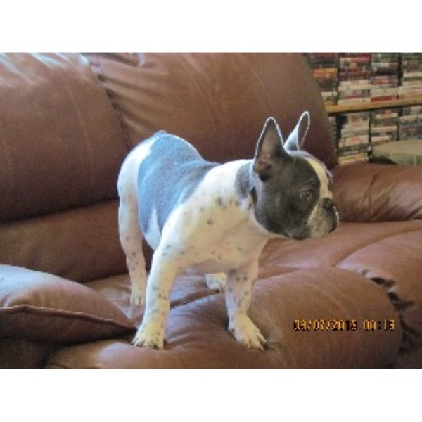 french bulldog rescue wi french bulldog studs in oregon freedoglistings usa 4390