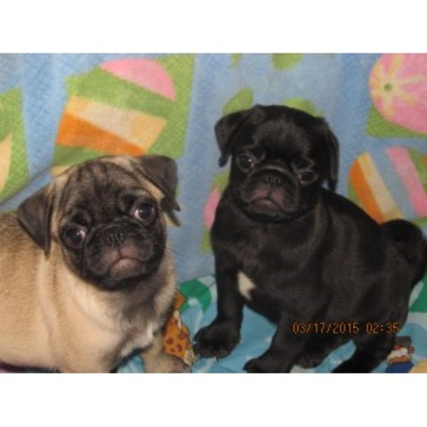 picture from Walk The Line Pug Ranch a Pug breeder