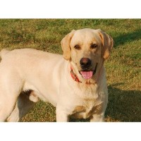 Runnin' S Ranch Labrador Retrievers