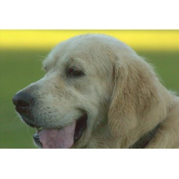 Golden Retriever breeder Chuckey 22062